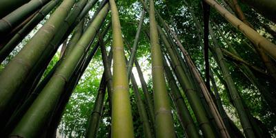 Bosque de cañas de bambú